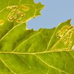 Stigmella freyella - Windemineermot