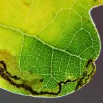 Stigmella atricapitella - zwartkopeikenmineermot