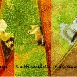 Drieluik heringi - subbimaculella - albifasciella