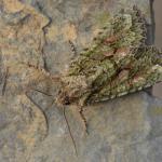 Dryobotodes eremita - Visé ~ Montagne Sainte-Pierre (Luik) 25-09-2021 ©Steve Wullaert
