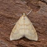 Ebulea crocealis - De Panne ~ Krakeelduinen (West-Vlaanderen) 20-06-2021 ©Johan Verstraeten