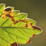 Ectoedemia agrimoniae - Agrimoniemineermot