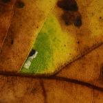 Ectoedemia albifasciella - Neerpelt ~ Het Hageven (Limburg) 13-10-2018 ©Steve Wullaert