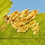 Ectoedemia arcuatella - Furfooz ~ Parc naturelle de Furfooz (Namen) 09-10-2021 ©Damien Gailly