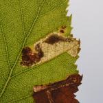 Ectoedemia minimella - Trooz ~ La Rochette (Namen)  22-09-2018 ©Steve Wullaert