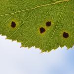 Ectoedemia occultella - Houthalen-Helchteren ~ Tenhaagdoornheide (Limburg) - 26-07-2020 ©Steve Wullaert