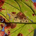 Ectoedemia rubivora - Beauraing ~ Grand Quarti (Namen) 15-09-2018 ©Steve Wullaert