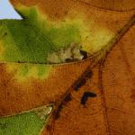 Ectoedemia subbimaculella - Neerpelt ~ Het Hageven (Limburg) 13-10-2018 ©Steve Wullaert