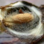 Fomoria weaveri - Vossenbesmineermot