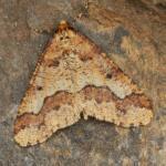 Erannis defoliaria - Genk ~ De Maten (Limburg) 26-09-2021 ©Steve Wullaert