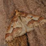 Erannis defoliaria - Neerpelt ~ Het Hageven (Limburg) 13-10-2018 ©Steve Wullaert