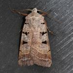 Eugnorisma glareosa - Beauraing ~ Grand Quarti (Namen) 15-09-2018 ©Philippe Vanmeerbeeck