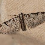 Eupithecia insigniata - Bomal ~ Mont des Pins (Luxemburg) 08-05-2021 ©Wim Declercq