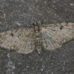 Eupithecia virgaureata - Beauraing ~ Grand Quarti (Namen) 23-05-2021 ©Steve Wullaert