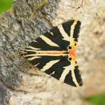Euplagia quadripunctaria - Visé ~ Montagne Sainte Pierre (Luik) 25-07-2021 ©Steve Wullaert