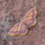 Idaea muricata - Arlon ~ Domaine Privé (Luxemburg) 31-07-2021 ©Steve Wullaert