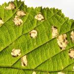 Incurvaria pectinea - Beauraing ~ Grand Quarti (Namen) 23-05-2021 ©Steve Wullaert