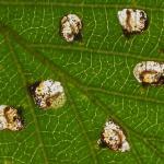 Incurvaria pectinea - Berkenbladsnijdermot