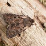 Lycophotia molothina (grijze heide-uil) - Lommel ~ Balimheide (Limburg) 15-05-2021 ©Steve Wullaert