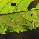 Lyonetia clerkella - Hangmatmot