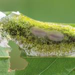 Macrosaccus robiniella - acaciavouwmot
