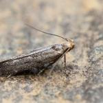 Monochroa tetragonella - Knokke-Heist ~ Het Zwin (West-Vlaanderen) 04-07-2021 ©Damien Gailly