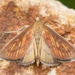 Nacyia cilialis - Chantemelle ~ Marais de Chantemelle (Luxemburg) 26-06-2021 ©Damien Gailly