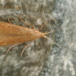 Coleophora lutipennella - Gewone eikenkokermot