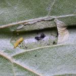 Phyllonorycter cavella - Grote berkenvouwmot