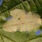 Phyllonorycter coryli - Hazelaarblaasmot