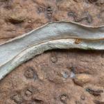 Phyllonorycter salictella - Witstreepwilgenvouwmot