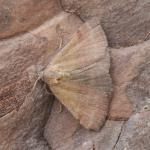 Phytometra viridaria - Arlon ~ Domaine Privé (Luxemburg) 31-07-2021 ©Steve Wullaert