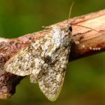 Polymixis flavicincta - Furfooz ~ Parc naturelle de Furfooz (Namen) 09-10-2021 ©Steve Wullaert