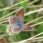 Polyommatus icarus - Icarusblauwtje