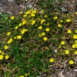 Potentilla tabernaemontani (voorjaarsganzerik) - Beauraing ~ Grand Quarti (Namen) 01-05-2021 ©Steve Wullaert
