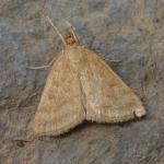 Psammotis pulveralis - Arlon ~ Domaine Privé (Luxemburg) 31-07-2021 ©Steve Wullaert