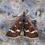 Pyrausta nigrata - Plombières ~ Site Calaminaires (Luik) 09-05-2021 ©Johan Verstraeten