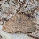 Scopula rubiginata - De Panne ~ Krakeelduinen (West-Vlaanderen) 20-06-2021 ©Johan Verstraeten