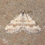 Scotopteryx bipunctata - Stockay ~ Terrils et Decanteurs (Luik) 11-07-2020 ©Steve Wullaert