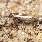Scythris cicadella - Koksijde ~ Ter Yde (West-Vlaanderen) - 05-07-2020 ©Damien Gailly