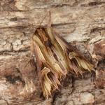Actinotia polyodon - Dinant ~ Devant-Bouvignes (Namen) 01-08-2021 ©Steve Wullaert