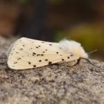 Spilosoma lubricipeda (witte tijger) - Lommel ~ Balimheide (Limburg) 15-05-2021 ©Steve Wullaert