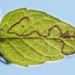Stephensia brunnichella - Furfooz ~ Parc naturelle de Furfooz (Namen) 09-10-2021 ©Damien Gailly