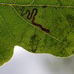 Stigmella basiguttella - Kinrooi ~ Het Vijverbroek (Limburg) - 22-08-2020 ©Steve Wullaert