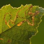 Stigmella betulicola - Diepenbeek ~ De Maten (Limburg) 17-10-2020 ©Steve Wullaert