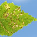 Stigmella betulicola - Stockay ~ Terrils et Decanteurs (Luik) 11-07-2020 ©Damien Gailly