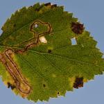 Stigmella lapponica - Arlon ~ Domaine Privé (Luxemburg) 11-09-2021 ©Steve Wullaert