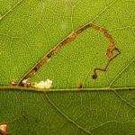 Stigmella sakhalinella - Bladrandberkenmineermot