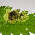 Stigmella sorbi - Lijsterbesblaasmijnmot