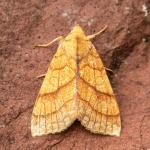 Tiliacea citrago - Furfooz ~ Parc naturelle de Furfooz (Namen) 09-10-2021 ©Damien Gailly
